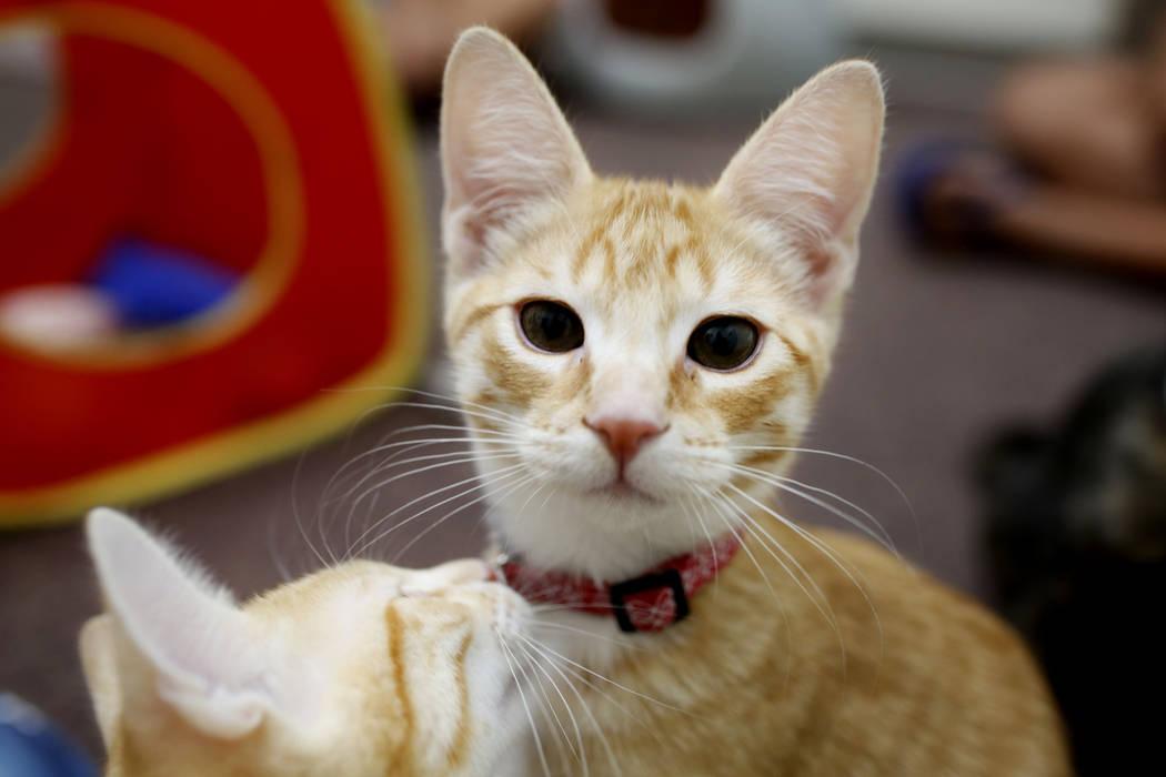 Gatitos adorables juegan en el Rescued Treasures Cat Cafe, el martes 6 de agosto de 2019, en La ...