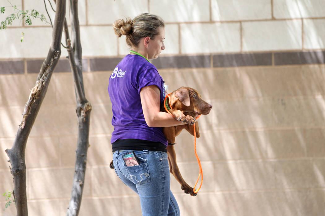 Nicole Bennett, técnica veterinaria con licencia de la Animal Foundation, lleva un perro duran ...