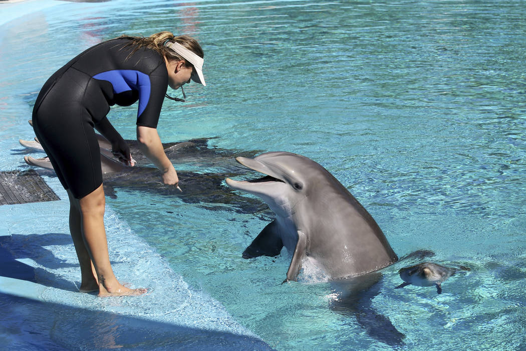 La entrenadora Amanda Meyer alimenta a Bella mientras su bebé nada cerca en Siegfried & Roy's ...