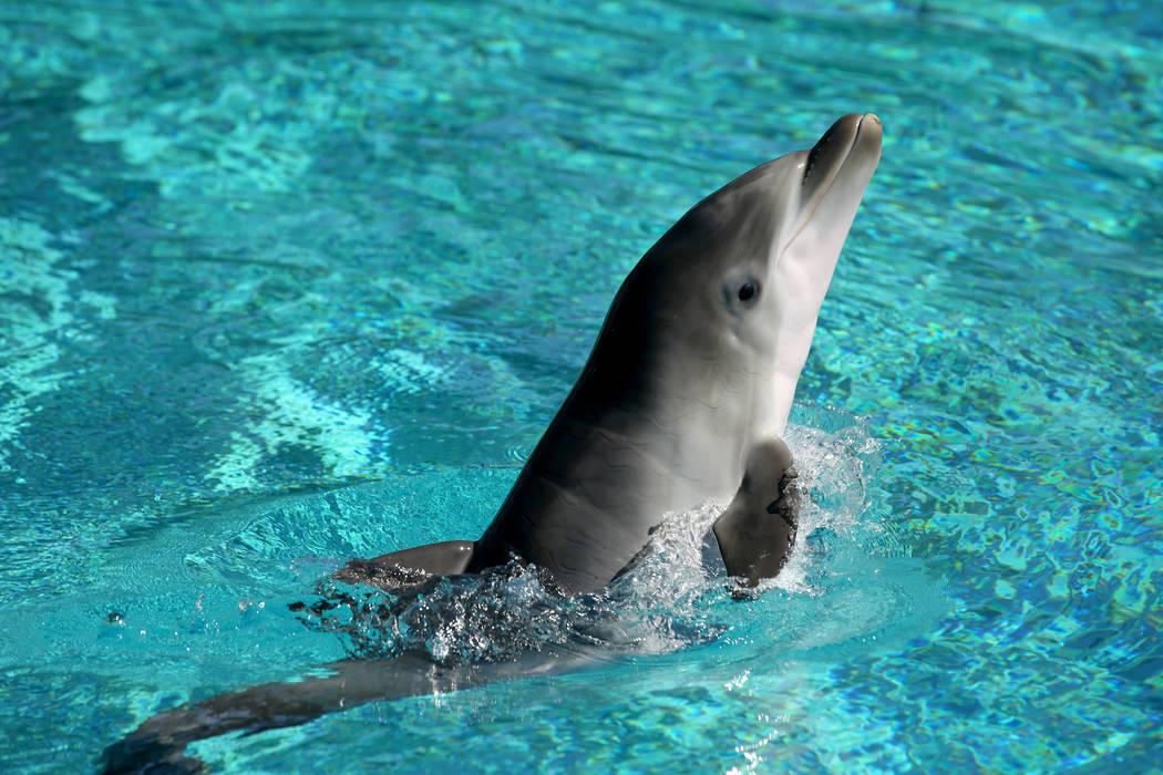 Una delfín bebé en Siegfried & Roy's Secret Garden y Dolphin Habitat en The Mirage en Las Veg ...