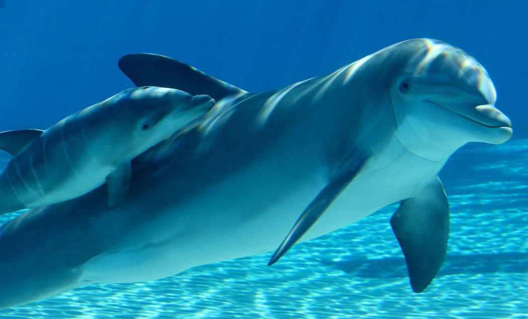 Una bebé delfín nada con su madre, Bella, en Siegfried & Roy's Secret Garden y Dolphin Habita ...