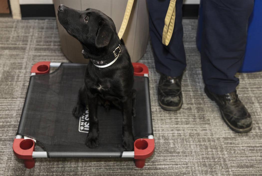Blaze, un perro de terapia asignado a Fire Station One, espera el inicio de un evento para pres ...
