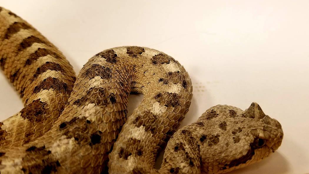 El herpetólogo Bob McKeever, trajo consigo serpientes de cascabel en terrarios portátiles y s ...