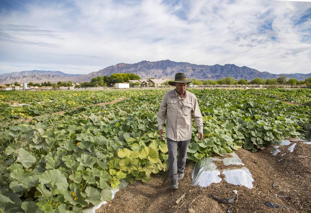Mark Ruben, director de Gilcrease Orchard, camina por el campo de calabazas en Las Vegas, jueve ...