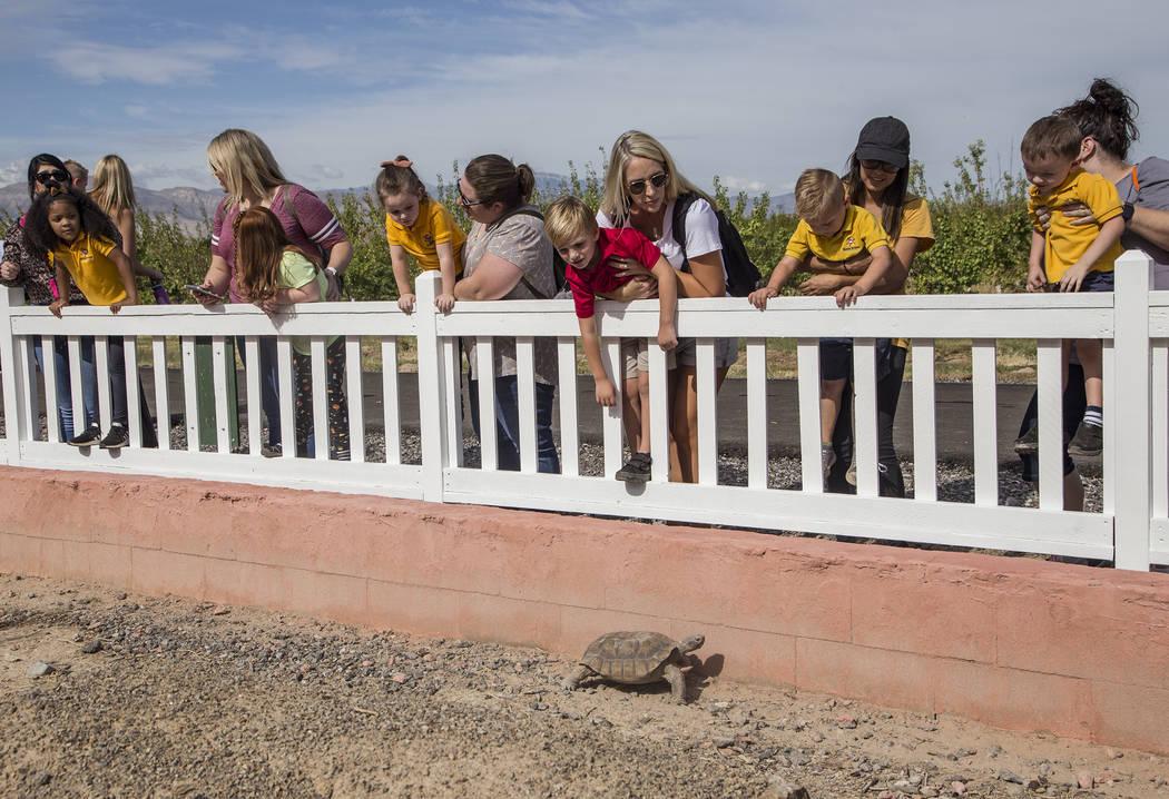 Las familias observan una tortuga del desierto en Gilcrease Orchard en Las Vegas, el jueves 26 ...