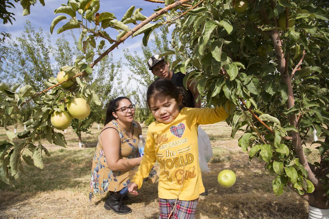 Gennive Banda y su esposo, Jerry Reyes, miran a su hija, Emma Reyes, de 4 años, arrancar una m ...