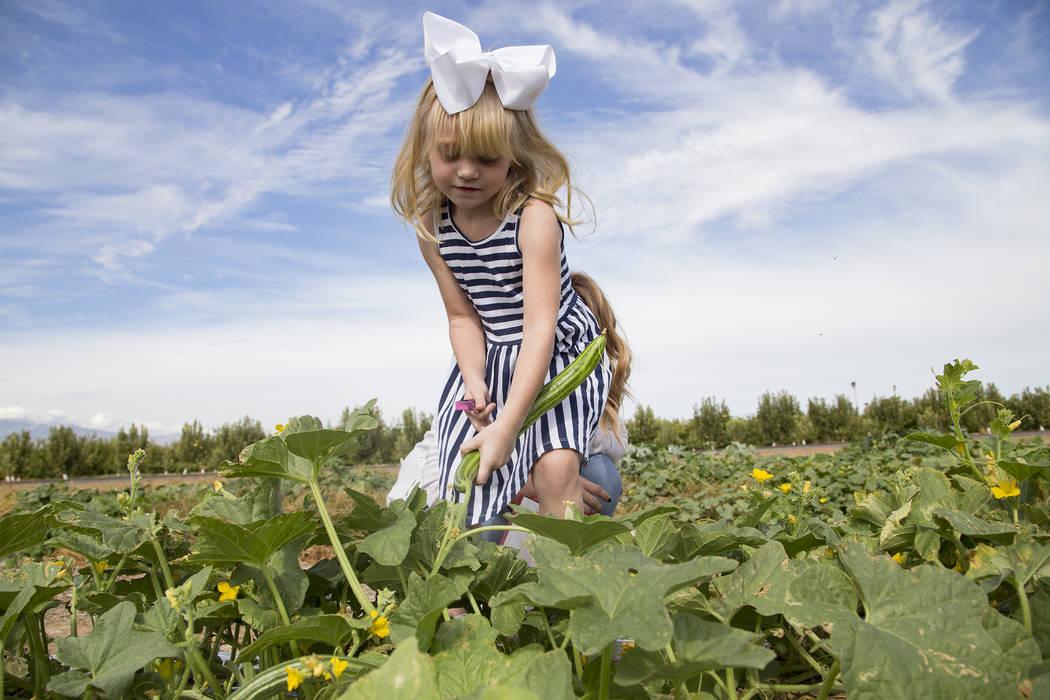 Natalie García, de 4 años, recoge pepinos en Gilcrease Orchard en Las Vegas, jueves 26 de sep ...