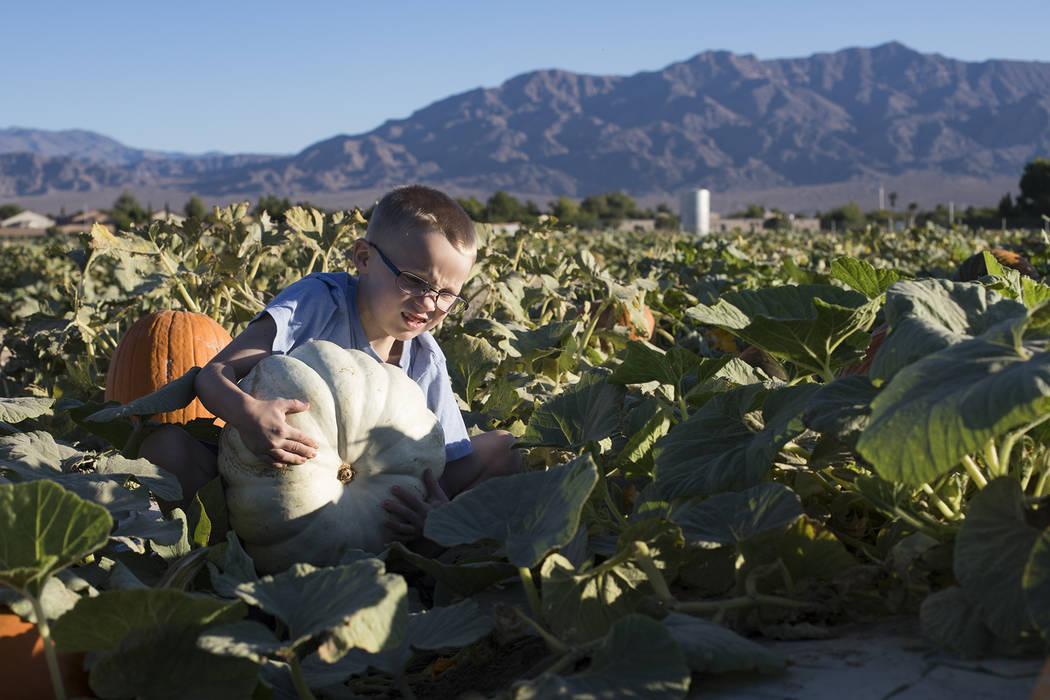 Dennis W., de 7 años, recoge una calabaza en Gilcrease Orchard en Las Vegas, martes 8 de octub ...