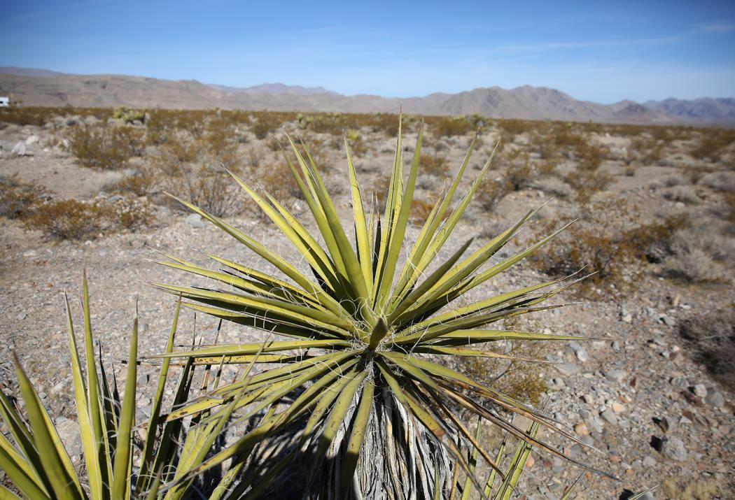 La yucca de Mojave en North Las Vegas el jueves, 24 de octubre de 2019 La BLM venderá cactus y ...