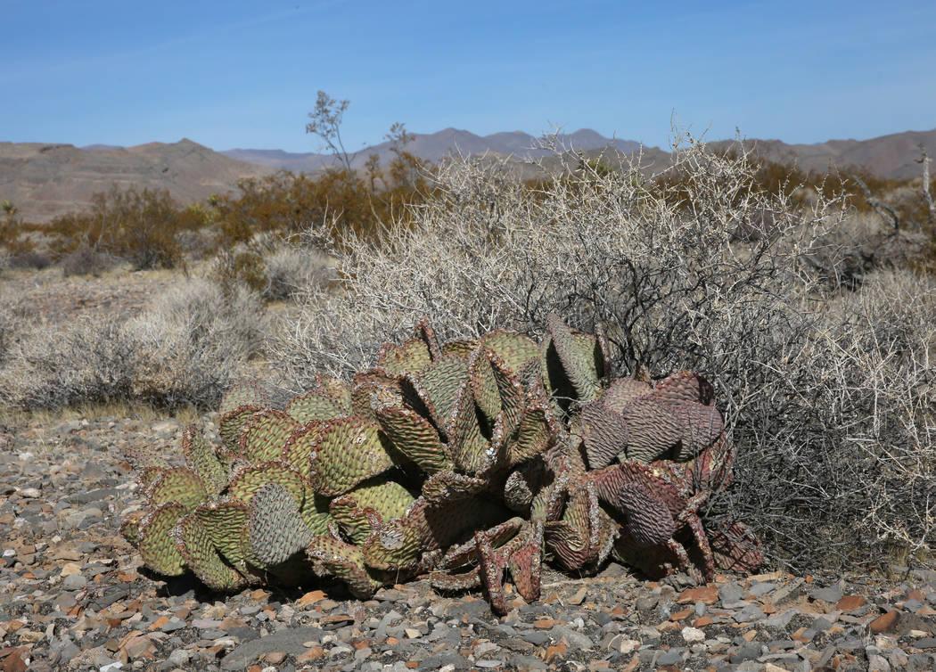 El cactus Beavertail en North Las Vegas el jueves, 24 de octubre de 2019 La BLM venderá cactus ...