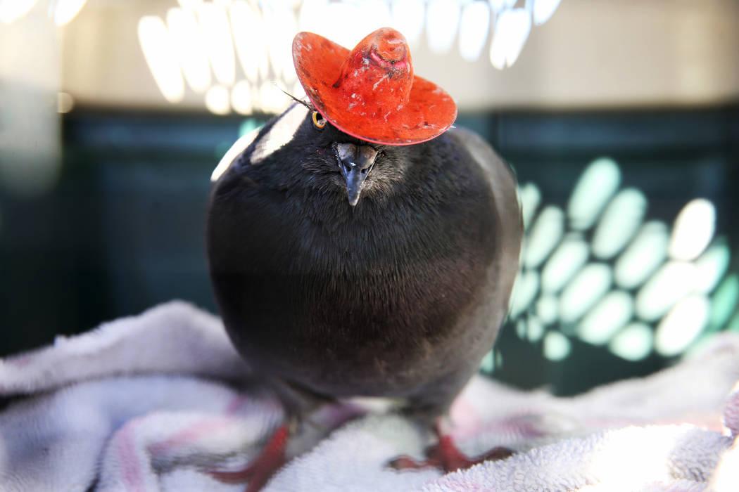 """""""Cluck Norris"""", el palomo con sombrero de vaquero después de haber sido atrapado en un complej ..."""