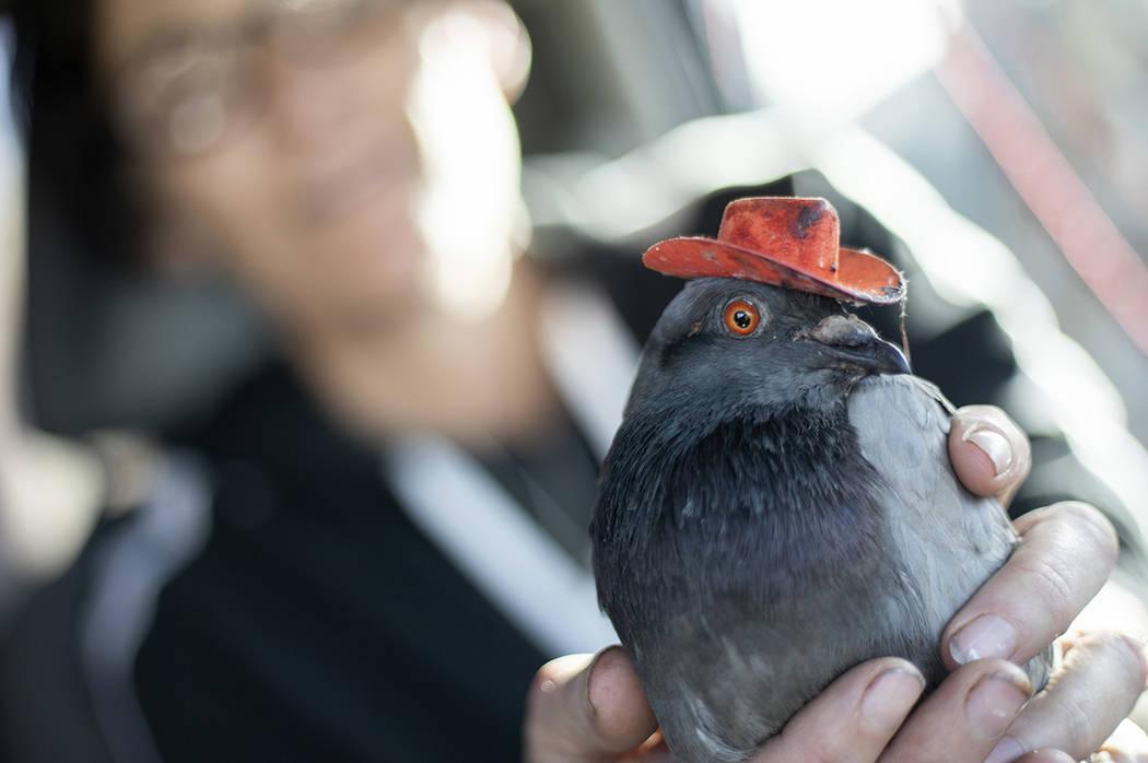"""Mariah Hillman, de Lofty Hopes, rescatista de palomas, sostiene a """"Billie the Pidge"""" el martes, ..."""