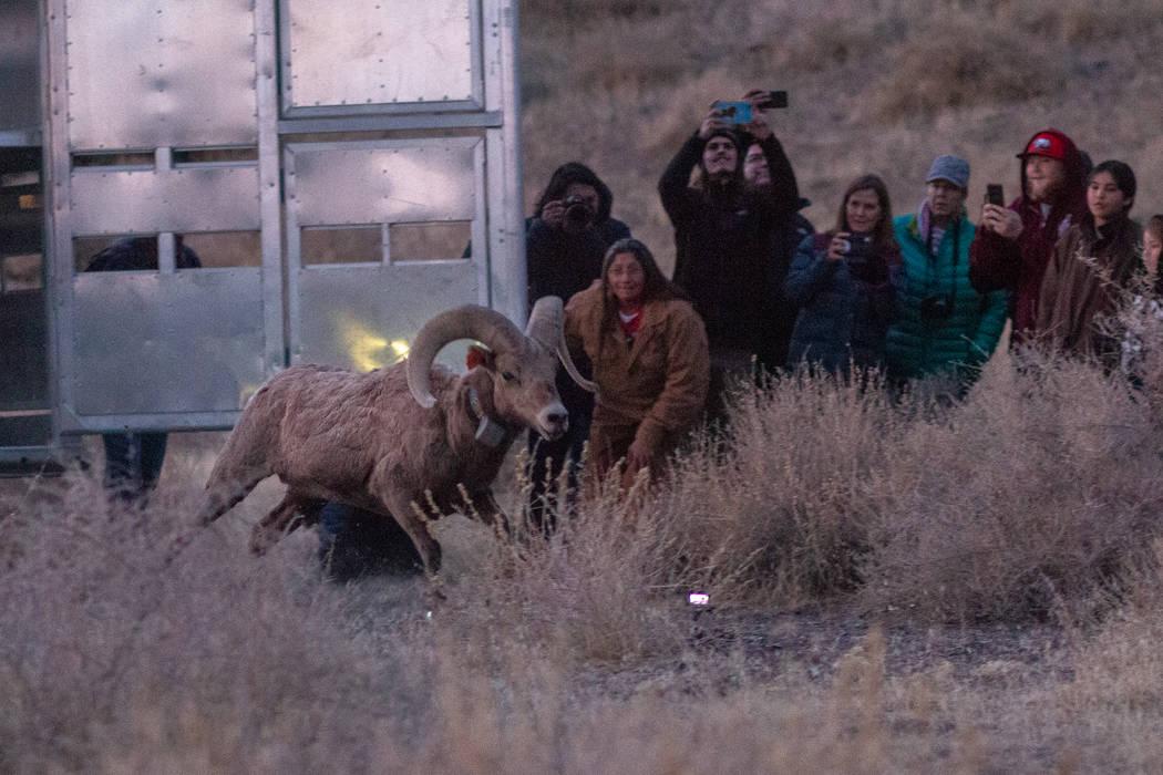 El Departamento de Vida Silvestre de Nevada y la Tribu Paiute de Pyramid Lake liberaron a más ...