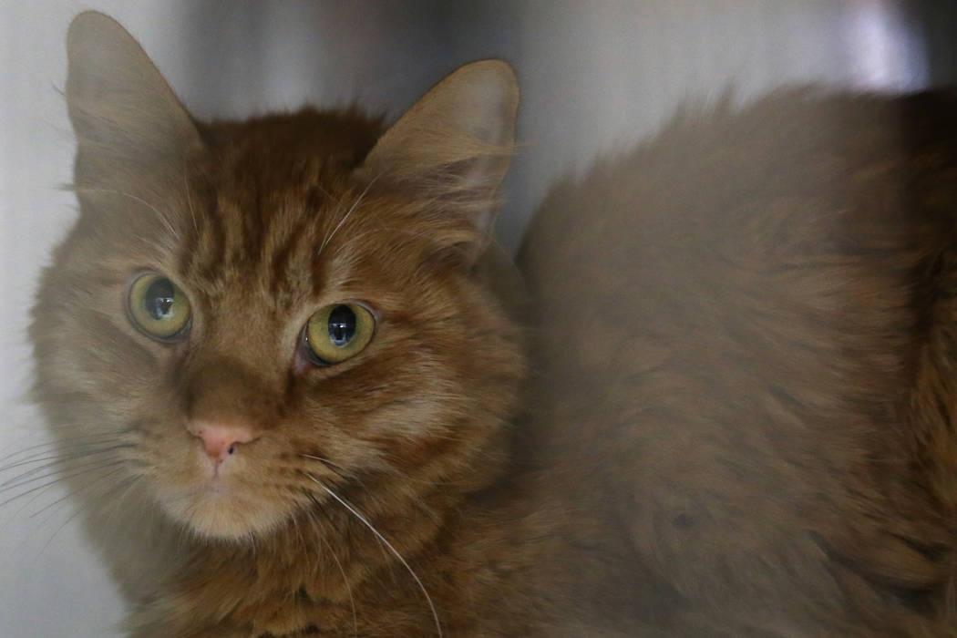 """Un gato mira desde una celda durante el evento """"Clear the Shelters"""" en el Centro de Control y C ..."""