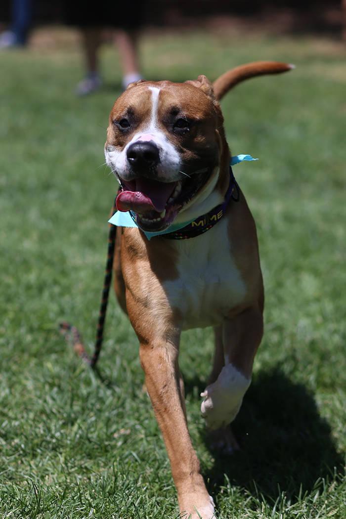 """Un perro en adopción juega en el pasto durante el evento """"Clear the Shelters"""" en el Centro de ..."""