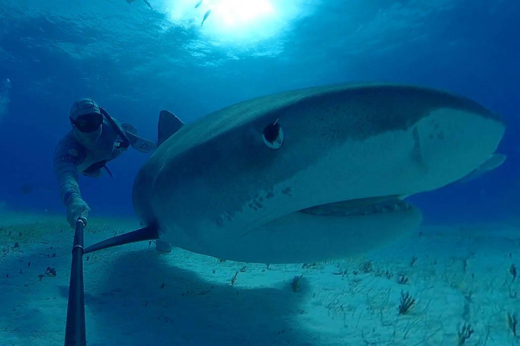 13365784_web1_SharkReefAquarium_OceanExplorer_TigerShark1_NoExp_Unlimited_PhotoCredit_Immotion-1-.jpg
