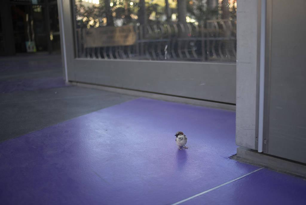 Un pájaro solitario frente al Cosmopolitan en el Strip el martes, 24 de marzo de 2020, en Las ...