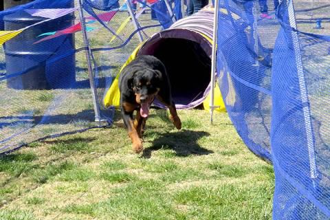 Esta foto de archivo muestra a un perro recorriendo un laberinto de obstáculos. Sábado 1 de a ...