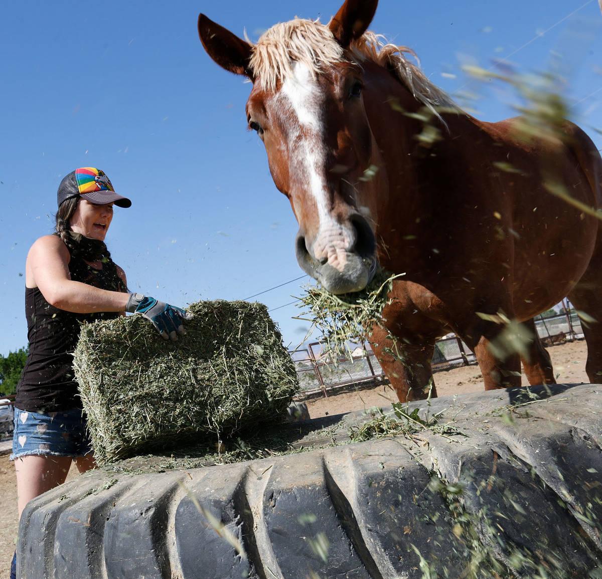 La copropietaria de Gladius The Show, Alethea Shelton, mueve la paja para alimentar a los cabal ...