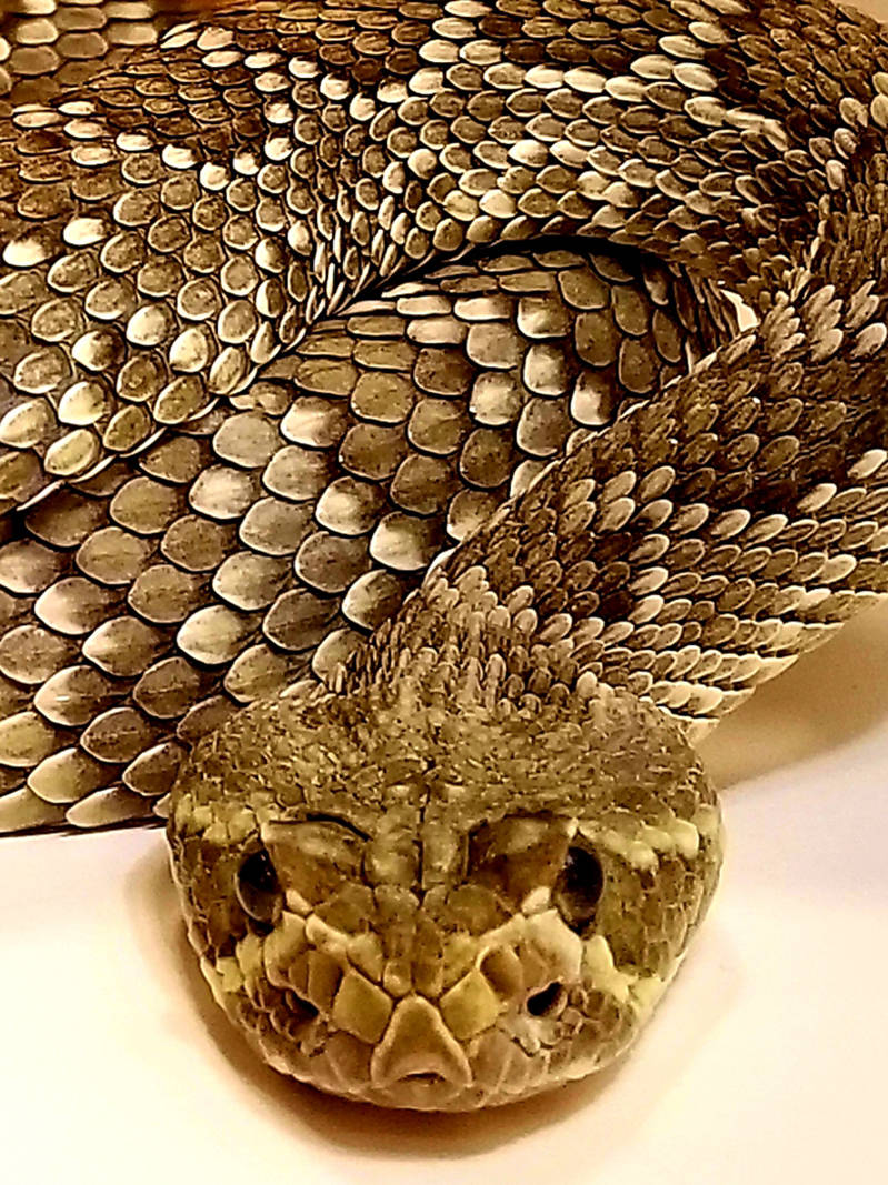 Una serpiente de cascabel verde Mohave. (Natalie Burt)