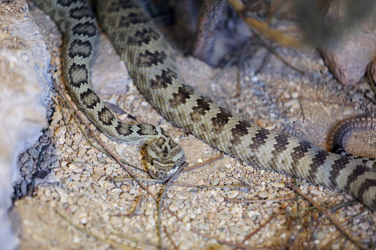 Una serpiente de cascabel de la Gran Cuenca en Springs Preserve el martes, 13 de diciembre de 2 ...