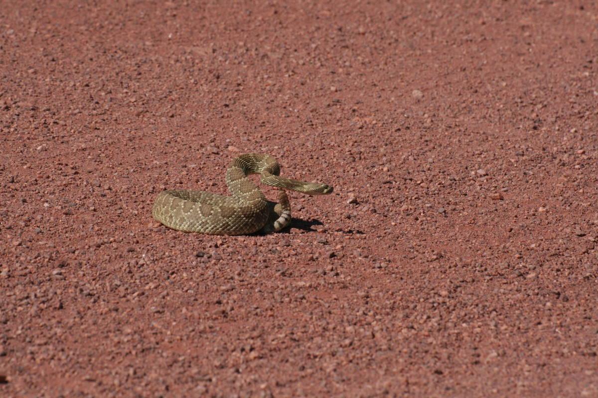 La serpiente de cascabel Mohave se encuentra en nuestra región y es una de las serpientes más ...