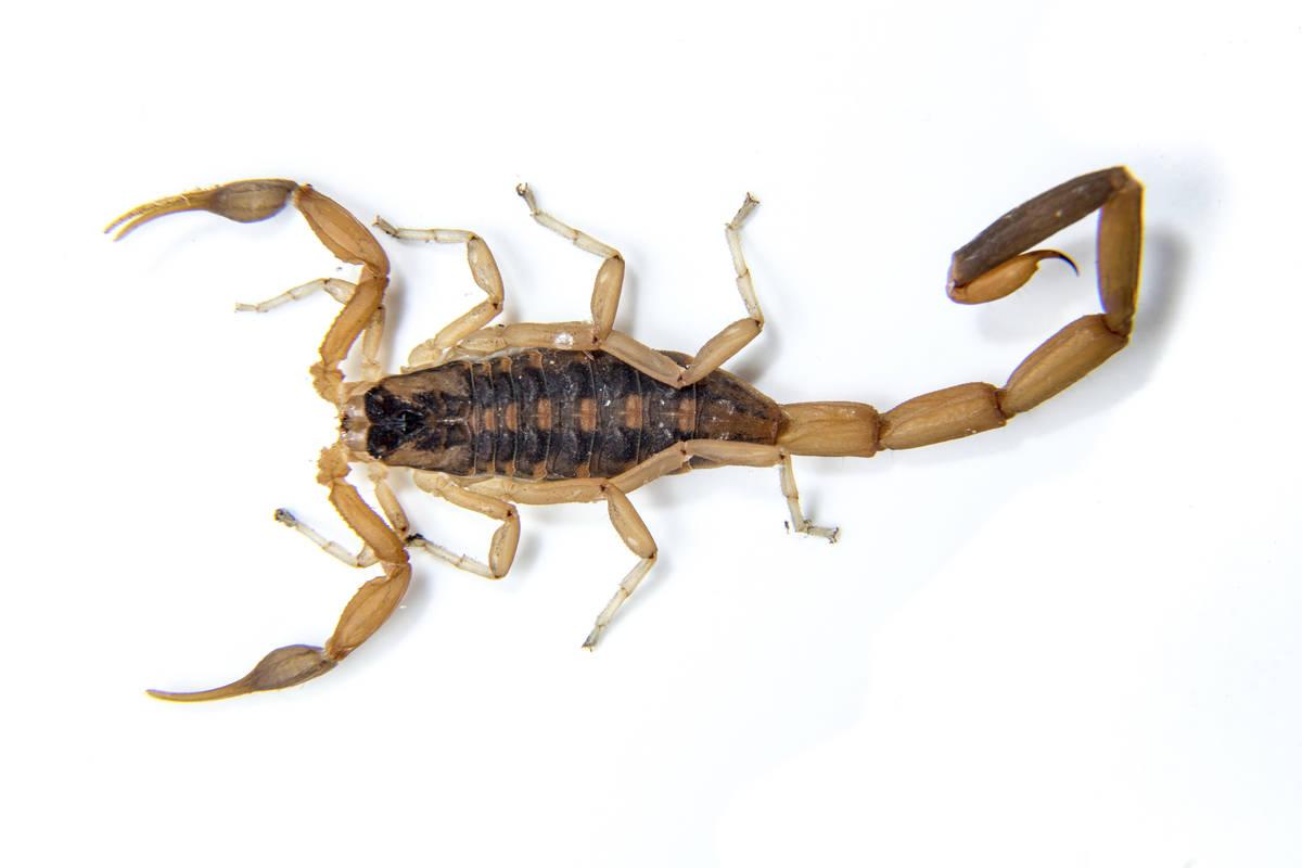 Escorpión de corteza