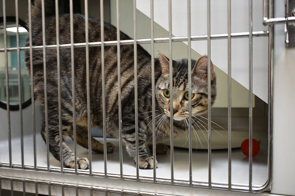 """Aunque se ven cómodos en sus """"suites"""", distintos gatos aguardan para encontrar una familia ..."""