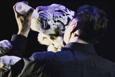 En esta foto de archivo, el mago Jay Owenhouse alimenta con biberón a Shekinah, una tigre hemb ...
