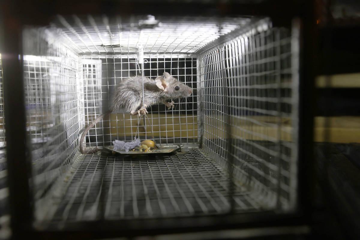 Una rata de techo capturada en una casa de Henderson por Micheal Linton, gerente de plagas y vi ...
