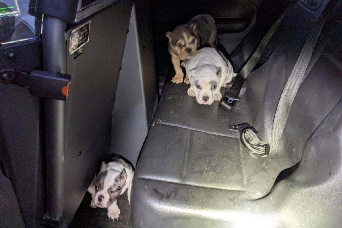 Tres cachorros de bulldog inglés que fueron secuestrados a punta de pistola en el noreste de L ...