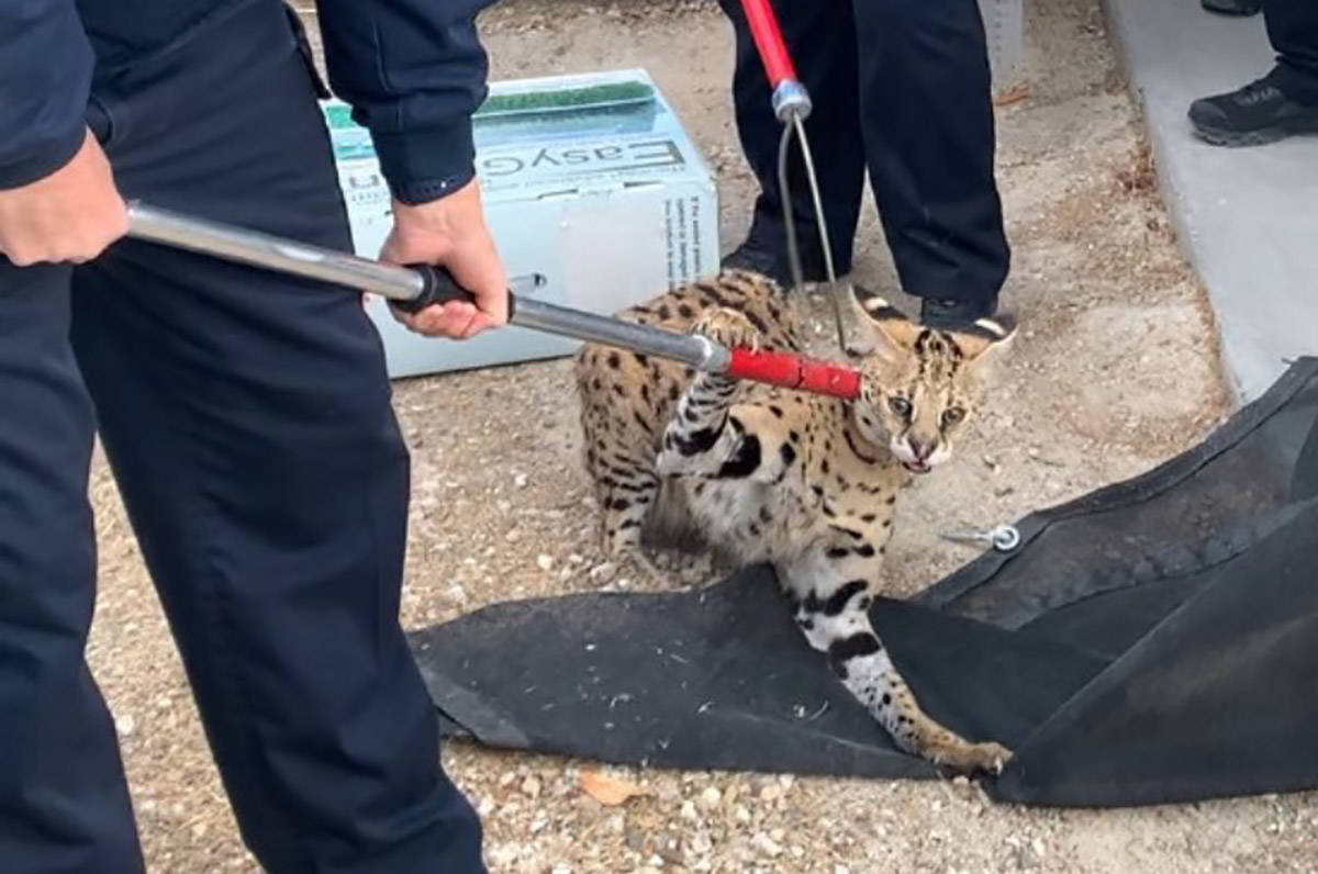 Un gato serval fue encontrado recientemente en North Las Vegas. El Departamento de Policía de ...