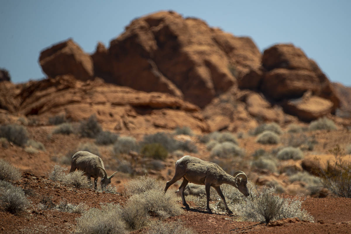 Los borregos cimarrones del desierto recorren el terreno en Valley of Fire State Park el martes ...