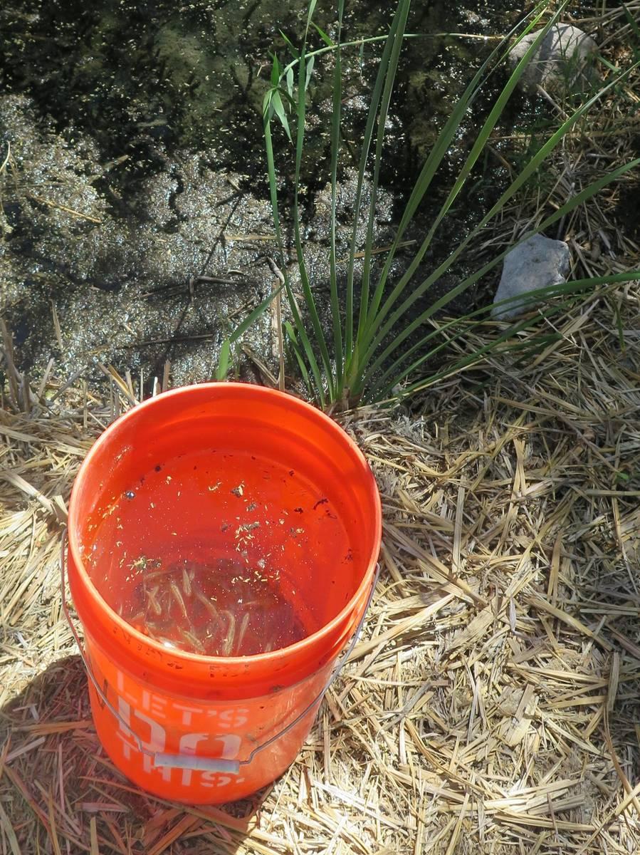 """""""Pahrump Poolfish"""" a punto de ser reintroducido en el estanque de Corn Creek el 20 de mayo de 2 ..."""