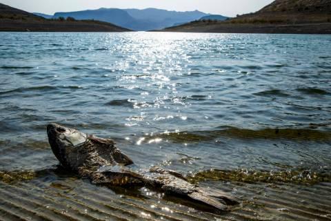 Un pez muerto flota cerca de la orilla, ya que el embarcadero está cerrado en Boulder Harbor, ...