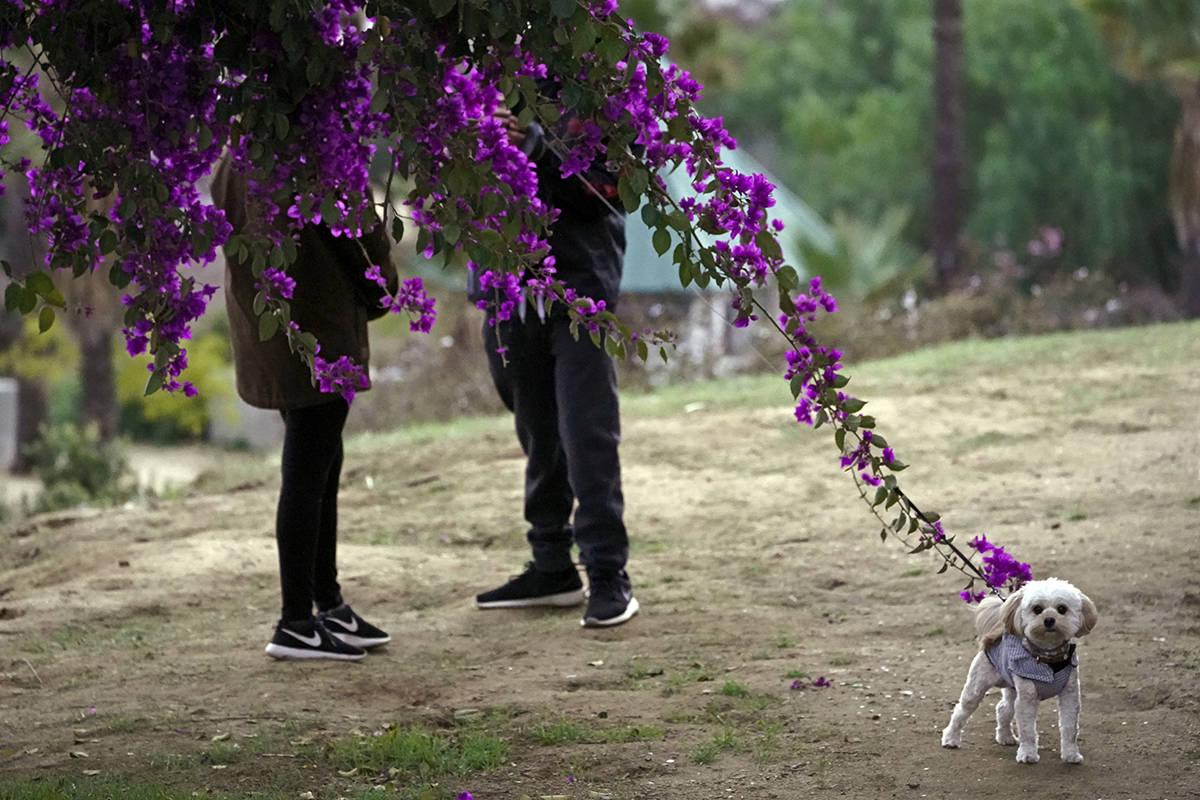 ARCHIVO.- Una pareja pasea a su perro en Los Ángeles, el 24 de enero de 2021. A los ojos de la ...