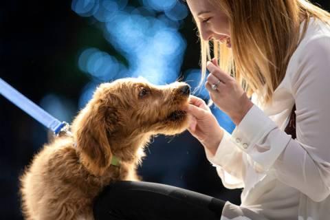 Un cachorro Goldendoodle aún sin nombre es alimentado con golosinas por Des Wingerter antes de ...
