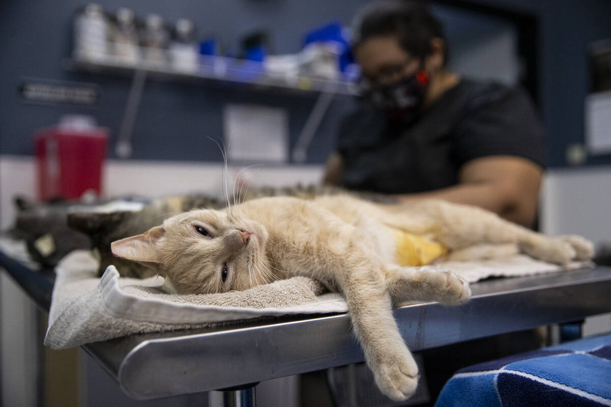 A cat under anesthesia lays on a table after getting spayed at Heaven Can Wait Animal Society i ...